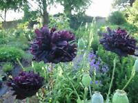 AMAPOLA DOBLE NEGRA black poppy 50 semillas seeds