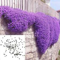 New 250pcs/1Bag Cascade Aubrieta Flower Seeds Perennial Ground Cover Romantic