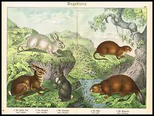 Mountain Hare, European Rabbit, Eurasian Beaver, Large Antique Print 1890