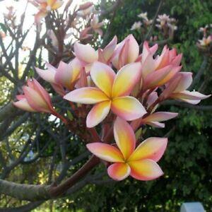Plumeria / Frangipanier Tricolore - lot de 10 graines