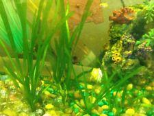New listing Jungle Val - Vallisneria - Live Aquatic Aquarium Plant (x5)