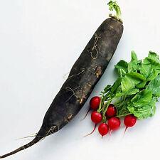 RADISH Black Spanish Long Heirloom Seeds (V 20)