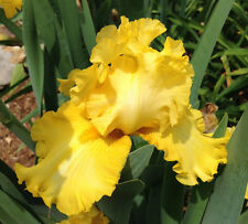 Tall Bearded Iris Sun Power Yellow rhizome perennial broken pattern