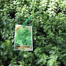 8 Pittosporum Green Pillar Hedge Screen Garden Plants tenuifolium Bonsai Border