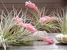 Tillandsia, Stricta Hybrid, South Florida Grown
