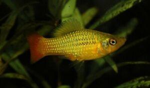 Pair of Xiphophorus variatus (Variable Platyfish)