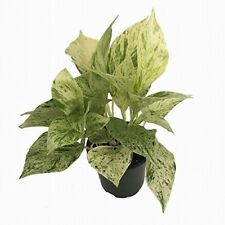"""Marble Queen Devil's Ivy - Pothos - growing House plant in 4"""" Pot - Easy to Grow"""