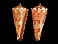 Conus kimioi - Shells from all over the World NEW!!!