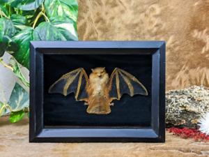 W4n Taxidermy Oddities Curiosities Bat Kerivoula Picta Framed Dsplay Collectible