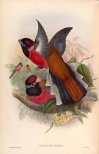 J GOULD reproduction imprimé oiseaux hapactes diardi des oiseaux de l'Asie. # 07