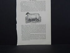 Sheep ONE In-Text Engraving Double Sided 1860s - 1880s #05 South Down Ram
