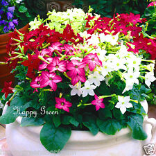 FLOWERING TOBACCO - Mixed Sensation Dwarf - 4000 seeds - Nicotiana alata nana