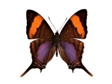 ONE REAL BUTTERFLY PURPLE BLUE MARPESIA CORINNA PERU UNMOUNTED WINGS CLOSED