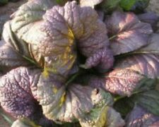 Mustard Red Giant, Salad Leaf Herb, 4g Approx 2000 seed