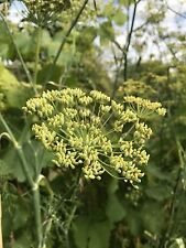 3 Fresh Green Dill Seed Heads For Cooking Baking