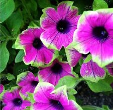 DIY Garden  50 Picasso Petunia  Seeds Awesome  Easy to GrowFlower Free Shipping