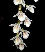 Dendrobium cretaceum 1000 seeds Orchid Miniature Thailand