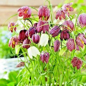 FRITILLARIA MELEAGRIS BULBS 'Snake Head' Spring Flowering Bulbs Actively Growing