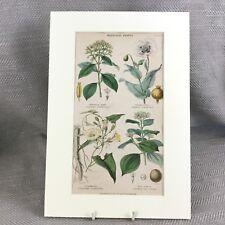 Antique Botanical Print Original Hand Coloured Opium Poppy Flower Medicinal
