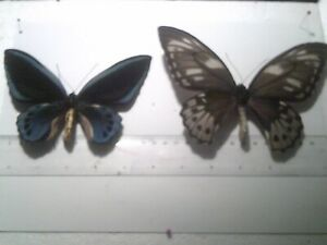 Insect/Butterfly Set Spread B7812 Blue Very Rare Large Pair Papilio.O urvilliana