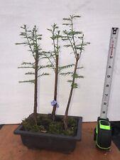 Bald Cypress, Starter - Pre Bonsai Tree, Taxodium Distichum