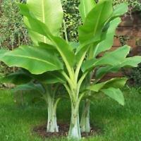 Ensete glaucum Schneebanane 10 Samen DIY Garten Best Quality