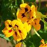 8 Yellow Nasturtium Seeds Tropaeolum majus Garden Flowers