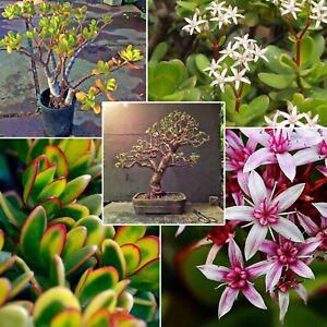 Crassula Ovata Jade / Money Tree Live Plant Large Bonsai Starters Pick 5-16 inch