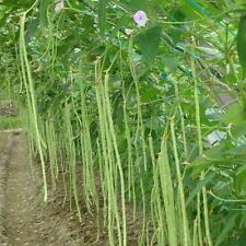 2017 Snake Bean Yard Long UN METRO RAMP 80 Heirloom Organic Vegetable Seeds CHIC
