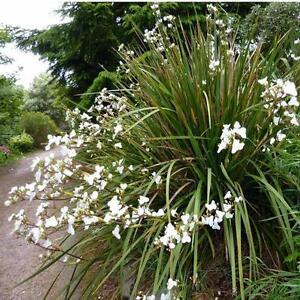 Libertia Chilensis (Grandiflora) New Zealand Iris - 100 Seeds - Perennial Flower