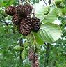50/100/200/500 Erlenzapfen, Alnus glutinosa, Schwarzerle, Black Alder Cones