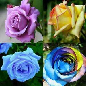 100X gemischt Stil seltene Pflanzen mehrfarbige Rose Pfingstrose Blumensamen