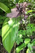 100 FRESH BLACK BAT TACCA CHANTRIERI CAT WHISKERS DEVIL FLOWER SEEDS
