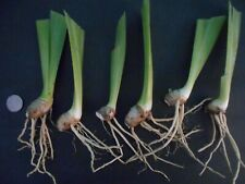 "6 small White Iris rhizomes, will grow to about 40"" tall, please see pictures"