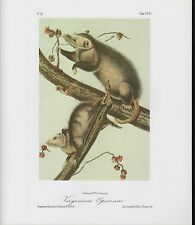 "1989 Vintage ""Virginian Opossum"" A Lovely Audubon Mammal Color Art Lithograph"