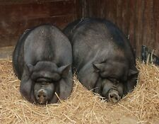 METAL MAGNET Two Pot Bellied Pigs Resting On Straw Pig Travel Portugal MAGNET
