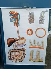 "Original vintage medical pull down school chart  ""Digestive System"""
