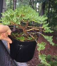 Juniper Bonsai - Great Future Pads