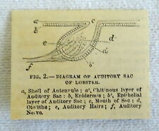 1882 small magazine engraving ~ Diagram Of Auditory Sac Of Lobster