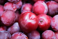 Crisp, Sweet & Tangy* *Delicious PLUM Tree* 5-Finest Seeds*Hardy Variety For UK