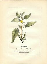 Stampa antica PIANTE DELLA BIBBIA JUTA Corchorus olitorius 1842 Antique print