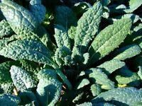 Lacinato Kale Seeds, Italian Dinosaur Kale, NON-GMO, Cruciferous, FREE SHIPPING