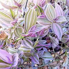 Tradescantia Fluminensis Lilac  Wandering Jew Lilac - Rare House plant