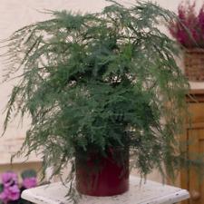 Asparagus Plumosus Houseplant - Premium Live Indoor Office Plant In 1 x 12cm Pot