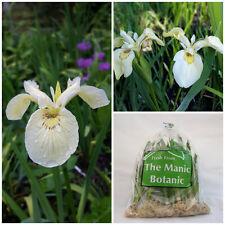 Iris amphibia alba-drapeau blanc iris-étang des marges bog jardin, encadré