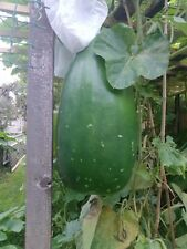 UK Seller: Gourd Seeds, Hybrid Bottle Gourd, Bangla Khodu/Lau, Kadhu: 10 Seeds