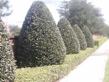 "Ilex-Nellie R Stevens Holly~Evergreen~ 3"" pot Lot of 15"