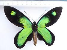 Ornithóptero victoriae ssp. rubianus m ex Solomon-Islands o6/10