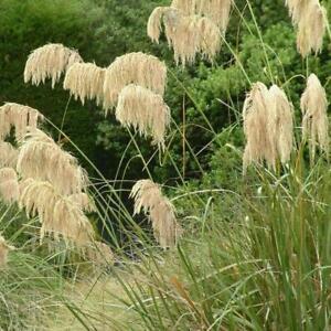 PAMPAS GRASS CORTADERIA RICHARDII TOE TOE GARDEN BORDER CONTAINER PLANT