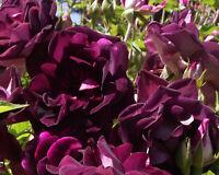 Burgundy Iceberg Shrub Rose Plant Potted | Fragrant Purple Flowers Own Root